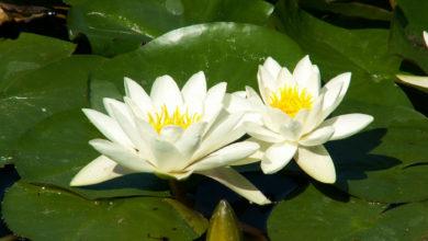 Нимфея белая Alba
