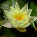 Нимфея желтая Marliacea Chromatella