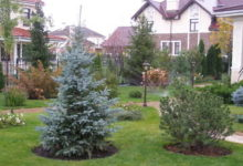 Посадка растений в саду - голубая ель