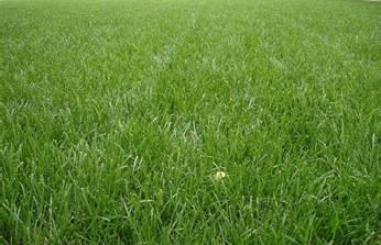 Виды газонных трав