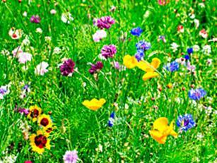 http://terrasa.com.ua/uploads/images/Landart/gazoni/lugovoi.jpg