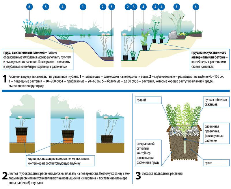 Высадка и размещение растений в водоеме